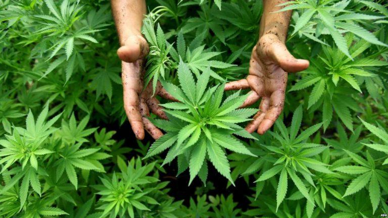 Svaboda.org: У Менску абмеркавалі легалізацыю марыхуаны